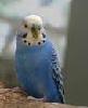 Thumbnail for Missing Parakeet